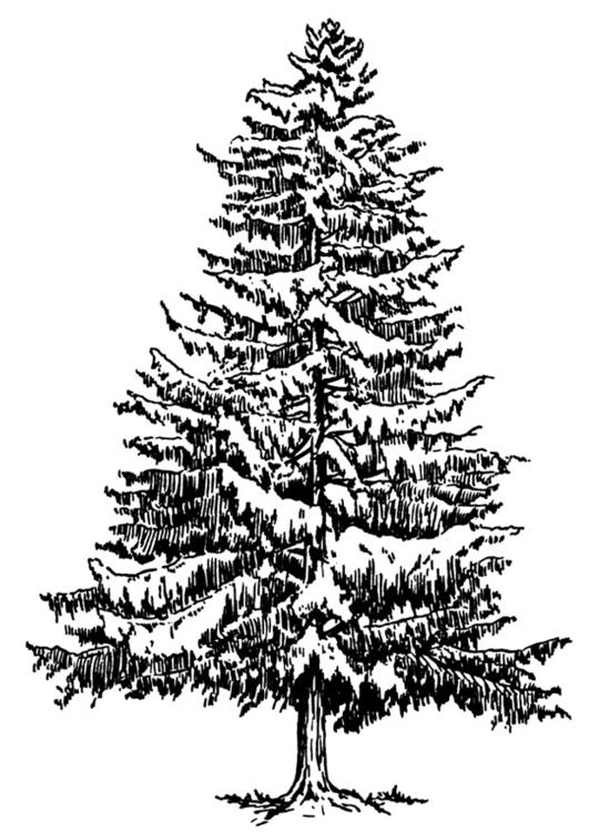 Disegno Da Colorare Abete In Inverno Cat 12918