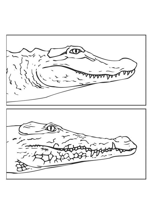 Disegno Da Colorare Alligatore E Coccodrillo Cat 9435