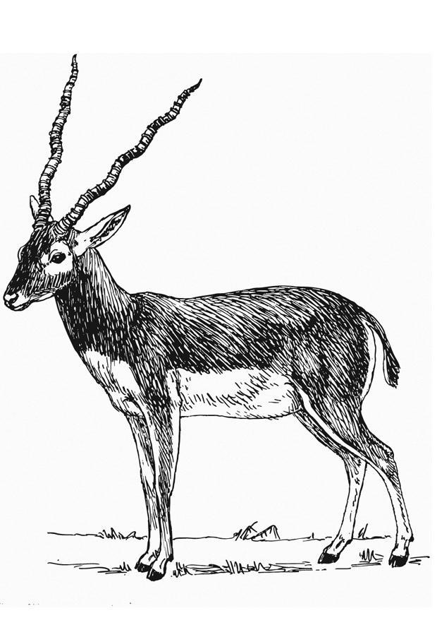 Disegno Da Colorare Antilope Cat 13204