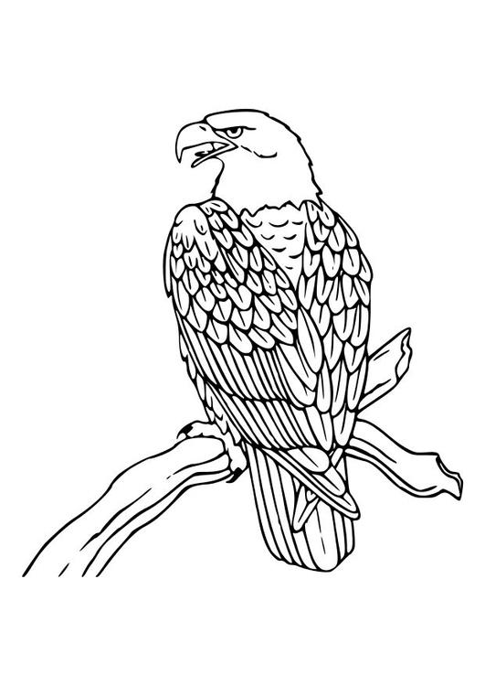 Disegno Da Colorare Aquila Cat 10535