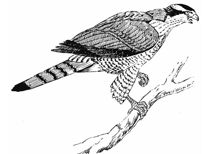 Disegno Da Colorare Aquila Cat 12944