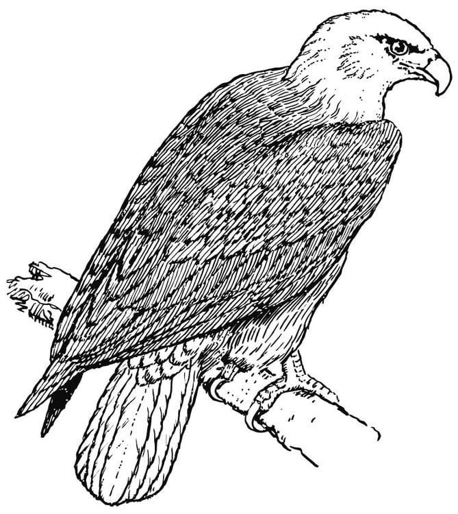 Disegno Da Colorare Aquila Cat 15695