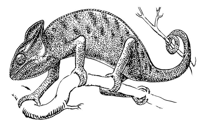 Disegno Da Colorare Camaleonte Cat 15741 Images