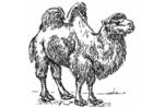 Disegno da colorare cammello