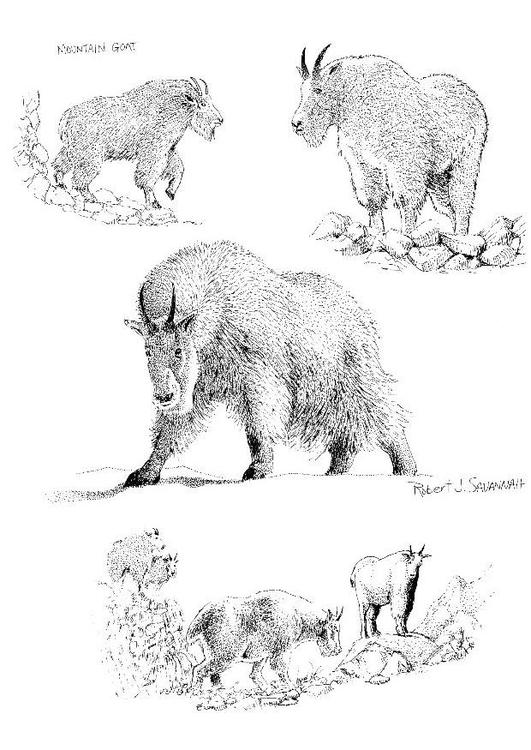 Disegno da colorare capra di montagna cat 8549 - Immagini da colorare capra ...