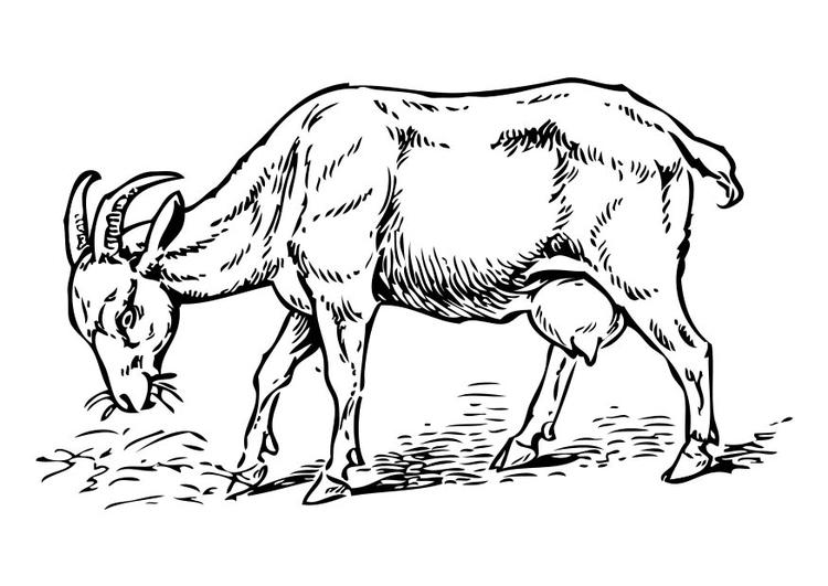 Disegno da colorare capra cat 17358 - Immagini da colorare capra ...