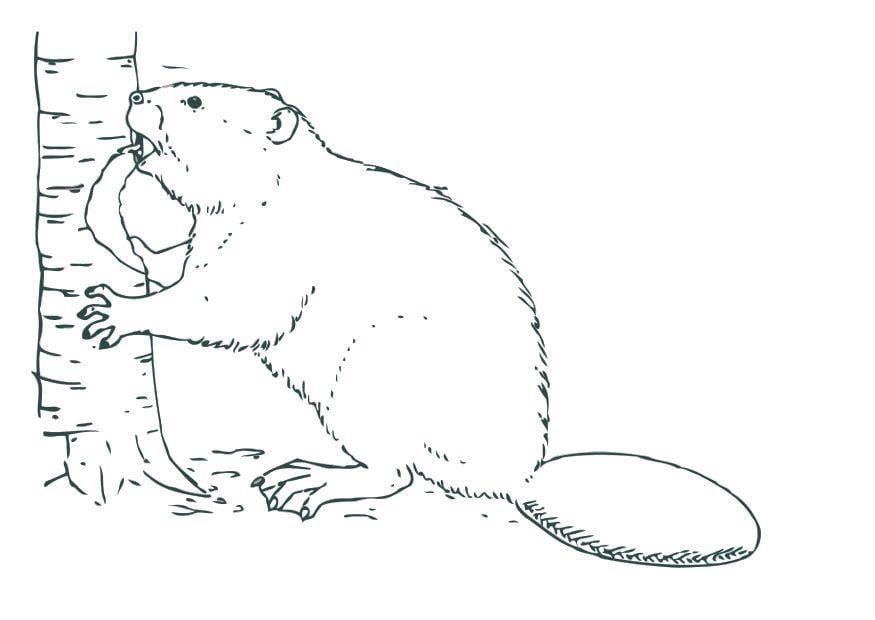 Disegno Da Colorare Castoro Cat 12531