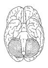 Disegno da colorare cervello, da sotto