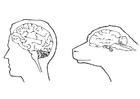 Disegno da colorare cervello del uomo e della pecora