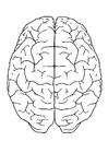 Disegno da colorare cervello, vista da sopra