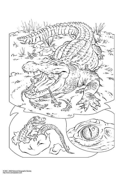 Disegno Da Colorare Coccodrillo Cat 3053