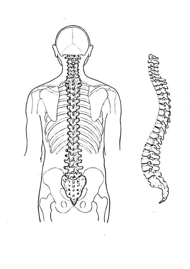 disegno da colorare colonna vertebrale