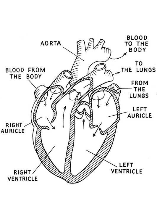 easy circulatory system worksheet