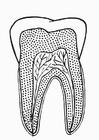 Disegno da colorare dente sezionato
