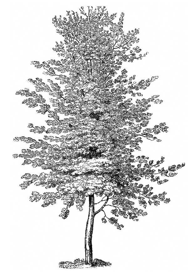 Disegno da colorare faggio cat 11216 images for Foto di alberi da colorare