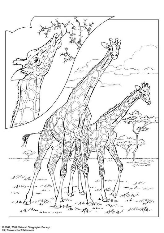 Disegno Da Colorare Giraffa Cat 3059