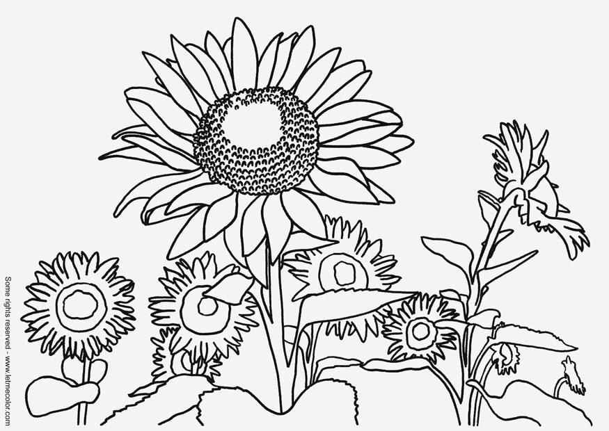 Preferenza Disegno da colorare girasoli - Cat. 9791. GI51