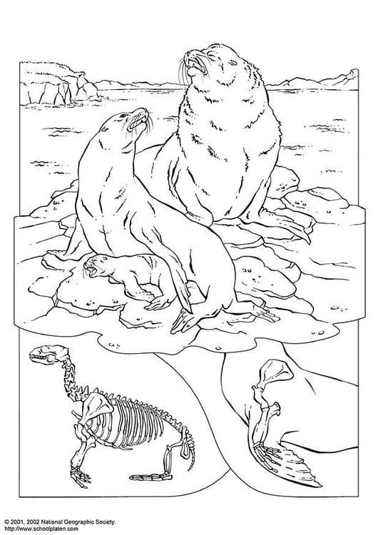 Disegno da colorare leoni marini cat 3082 for Disegni marini da colorare