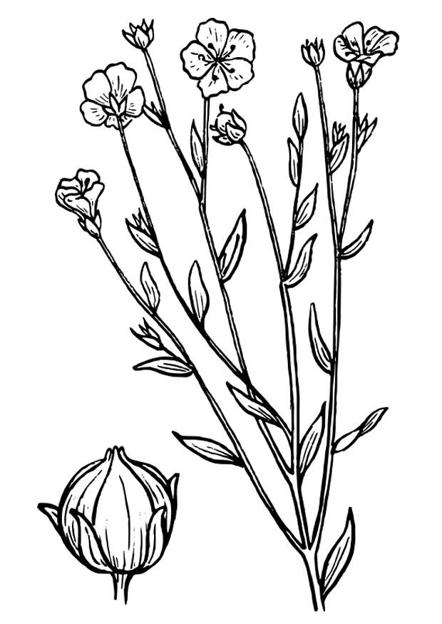 disegno da colorare lino