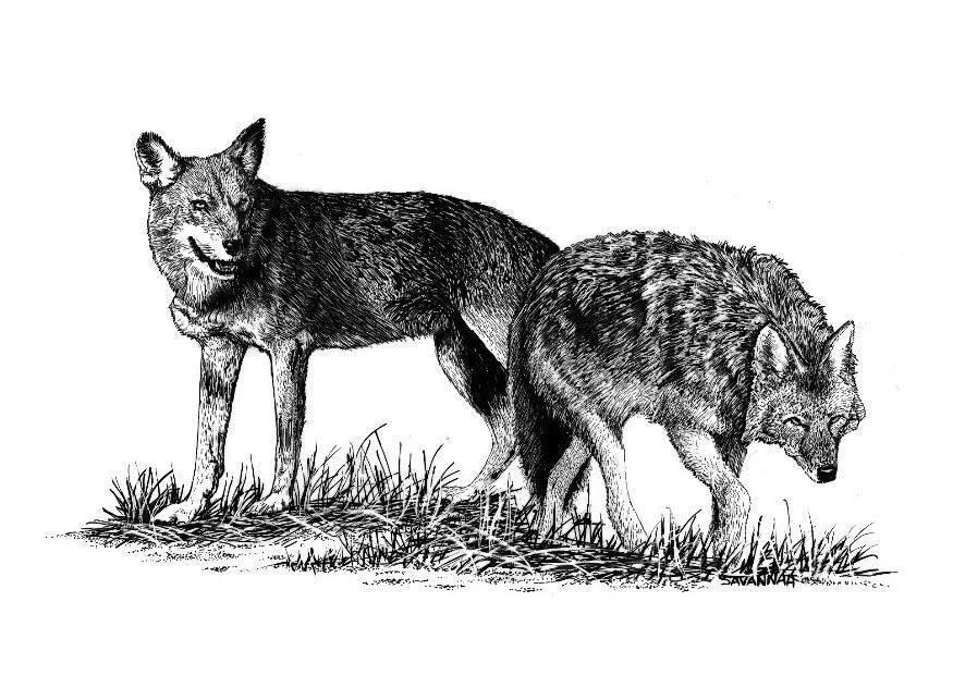Disegno da colorare lupi cat 8571 images for Disegni di lupi da stampare