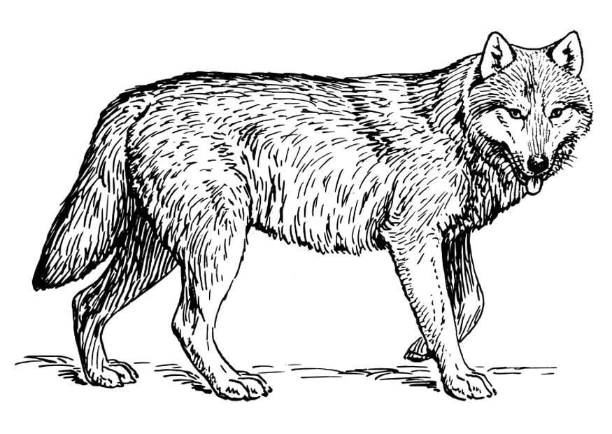 Disegno da colorare lupo cat 22786 images for Disegni di lupi da stampare