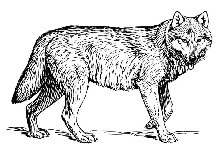 Disegno Da Colorare Lupo Cat 22786