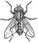 Disegno da colorare mosca domestica
