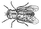 Disegno da colorare mosca tafano