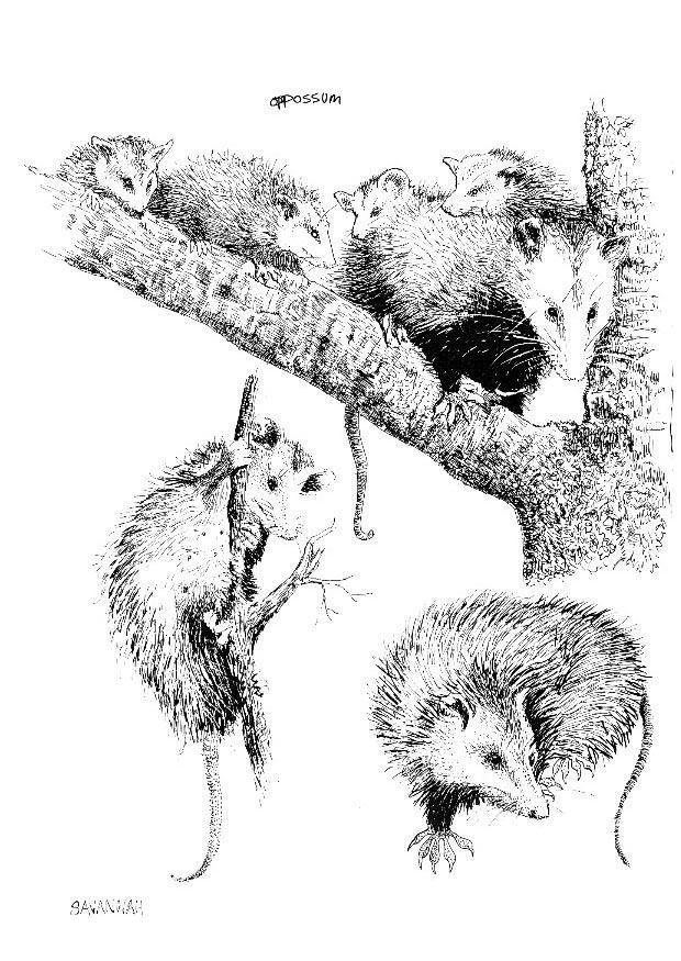 Disegno Da Colorare Opossum Cat 8550 Images