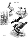 Disegno da colorare pelicano