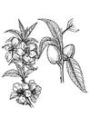 Disegno da colorare pianta di mandorle