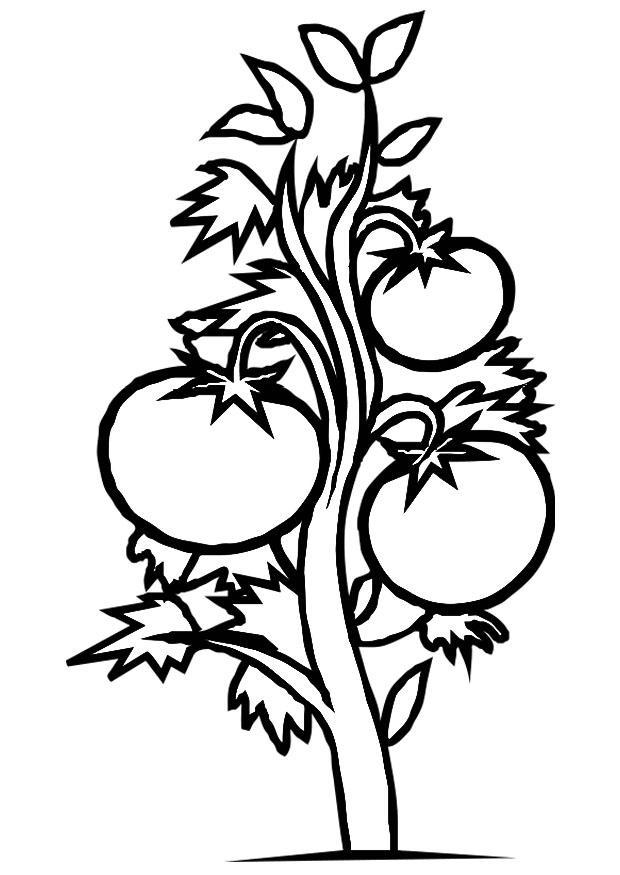 Disegno da colorare pianta di pomodori - 57.2KB