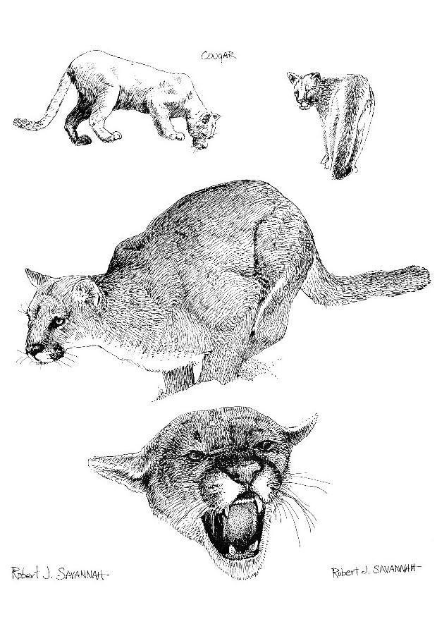 disegno da colorare puma