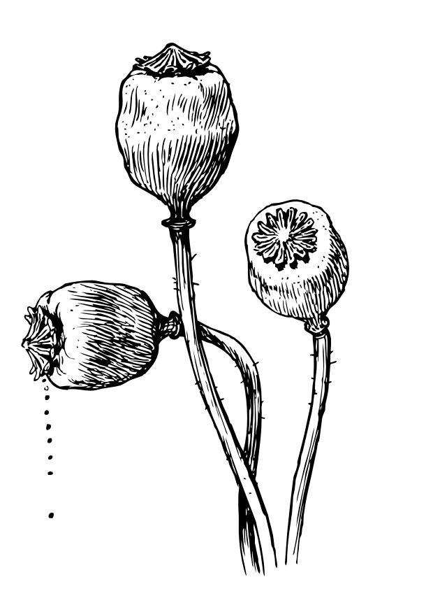 Disegno da colorare semi papavero cat 9993 - Immagini da colorare di rose ...
