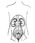 Disegno da colorare sistema urinaria, reni e vescica