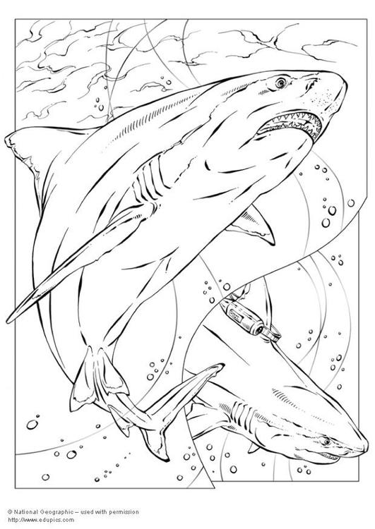 Disegno da colorare squalo toro cat 5735 for Squalo da colorare