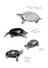Disegno da colorare tartarughe