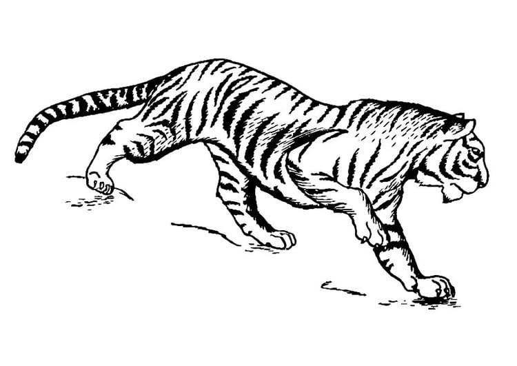 Disegno da colorare tigre cat 16629 for Disegni delle tigri
