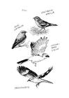 Disegno da colorare uccelli