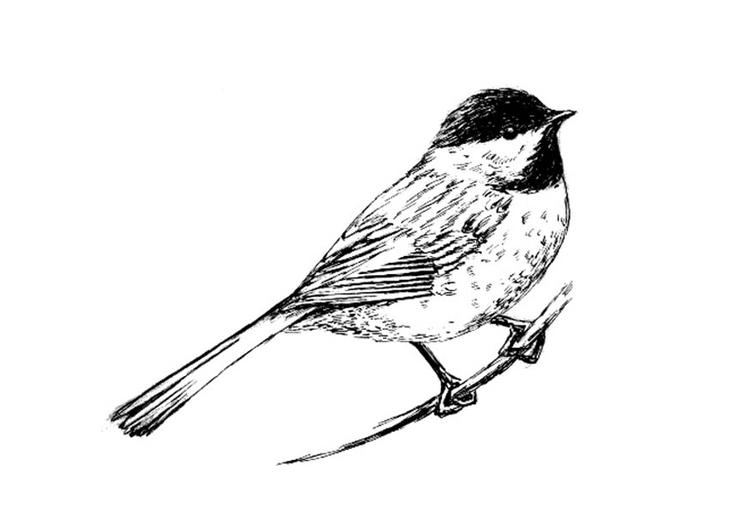 disegno da colorare uccello  carbonero dal cappuccio nero