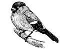 Disegno da colorare uccello - ciuffolotto