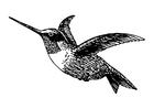 Disegno da colorare uccello - colibrì