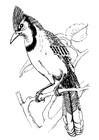Disegno da colorare uccello - ghiandaia azzurra