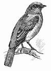 Disegno da colorare uccello - merlo blu