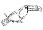 Disegno da colorare uccello - tucano