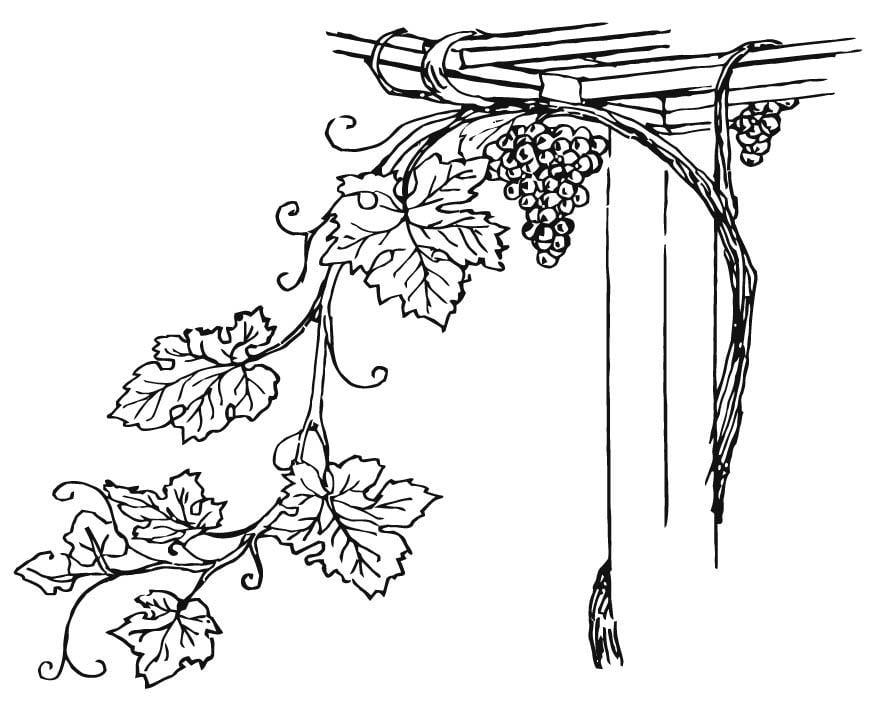 Disegno Da Colorare Vigneto Cat 15710
