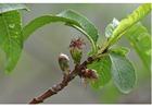 Foto 4. - inizio frutto - metà primavera