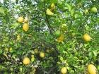 Foto albero di limoni