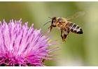Foto ape sul fiore