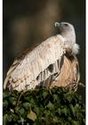 Foto avvoltoio